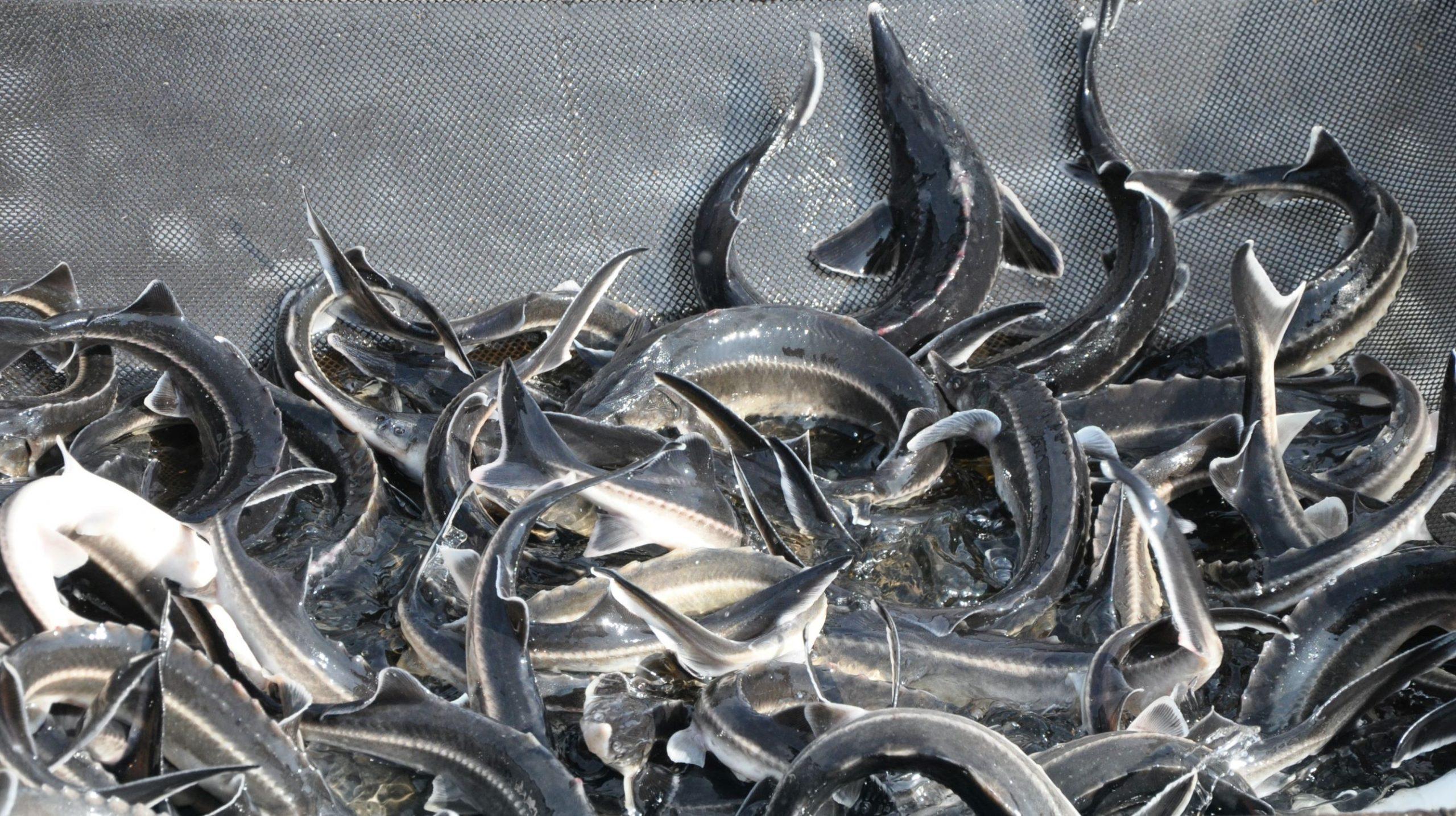 Много рыбы. Китайские рыбопродукты опасны для здоровья.