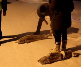 Житель Красноярского края «нашел» на улице мешки с осетрами