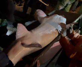 Белуга весом 150 кг приплыла к рыбоводам Казахстана