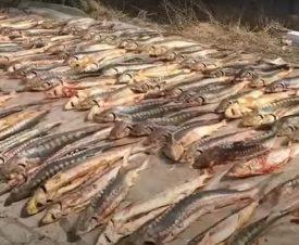 Казахстанец хранил на даче более 800 кг осетров