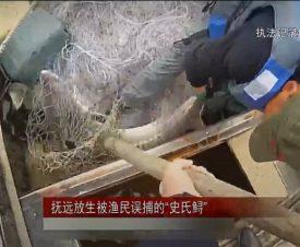 Китаец выловил в Амуре редкую рыбу - осетра весом 50 кг