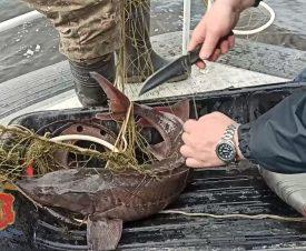 На Таймыре полицейские спасли от браконьеров 15 осетров