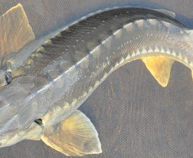 В Британской Колумбии гигантские осетры весом до 400 кг пугают местных рыбаков