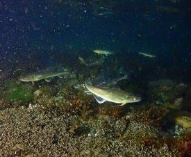 К началу осени дальневосточные предприятия добыли более 500 тыс. тонн лососей