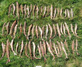 Полиция Алтайского края нашла в лодке рыбака 59 стерлядей